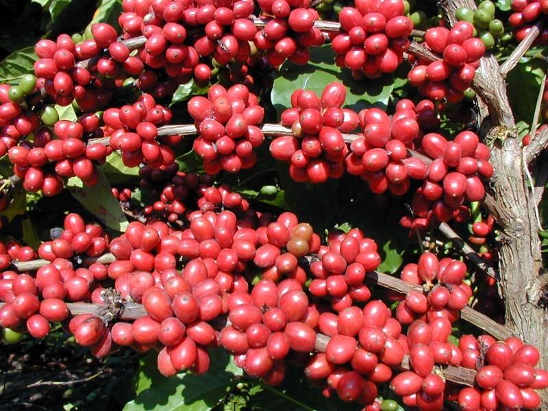 Incaper tem planejamento de ações para incentivar aumento na qualidade do café 1